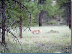 4361 Pronghorn at Fairyland Canyon Bryce Canyon National Park UT
