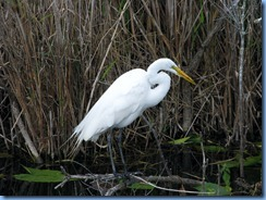 7415 Everglades National Park FL- Royal Palm Anhinga Trail - Great Egret