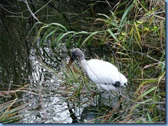7454 Everglades National Park FL- Royal Palm Anhinga Trail - Wood Stork