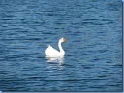 6984 Cutler Bay  FL walk Domestic Goose