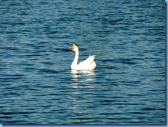 6985 Cutler Bay  FL walk Domestic Goose