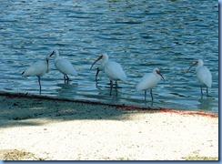 6994 Cutler Bay  FL walk white ibises