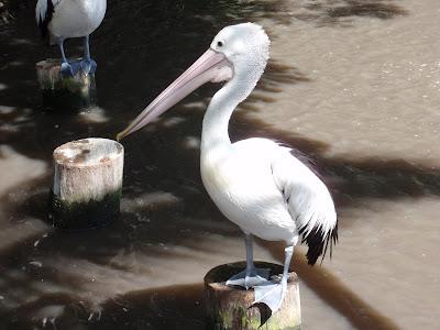 Pelican, Cairns Tropical Zoo