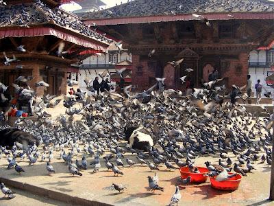 Pigeons, Kathmandu
