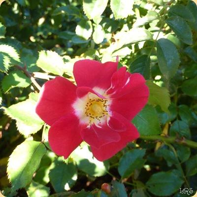 Rose2w