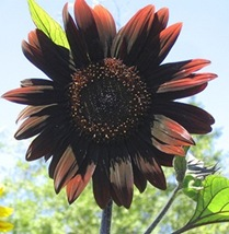 Chocolate_Sunflower_4