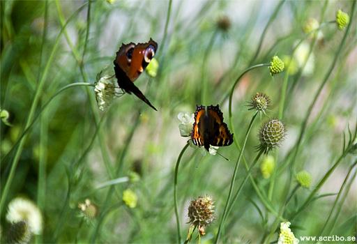 Påfågelsöga och Nässelfjäril sitter på blommorna på en Jättevädd