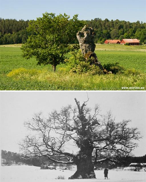 Två bilder av Kungseken Uppsala, 2010 och 1932