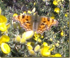 butterfly on gorse blurred