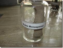 butea monosperma