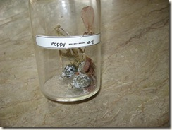 poppy specimen -pharmacology lab