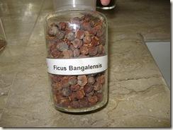 ficus bangalensis specimen pharmacology lab