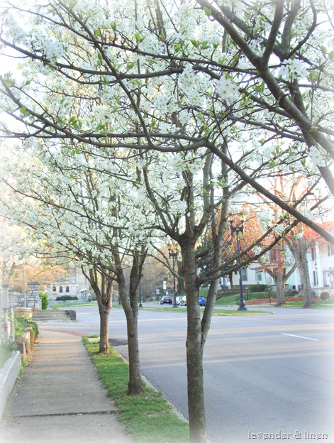 pictures of flowering trees 054