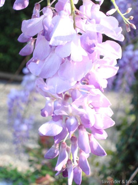 kristi wisteria 022