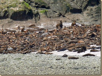 Simpson Reef Sea Lions2
