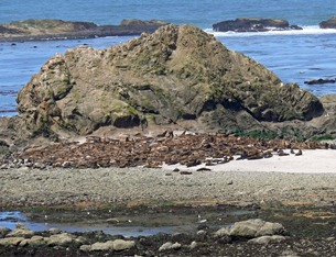 Simpson Reef Sea lions