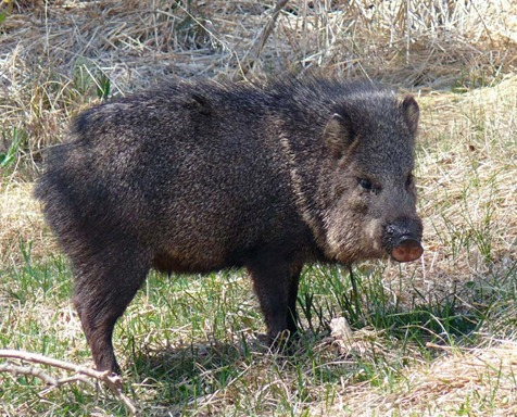Javalina