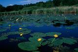 Nénuphar jaune/Nuphar lutea<br /> présent sur moins de 10 étangs en Dombes