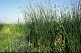 Scirpe lacustre (=Jonc des chaisiers)/Schoenoplectus lacustris