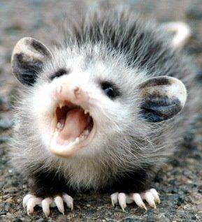 Possum (HGP)