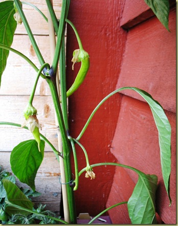 Chili green