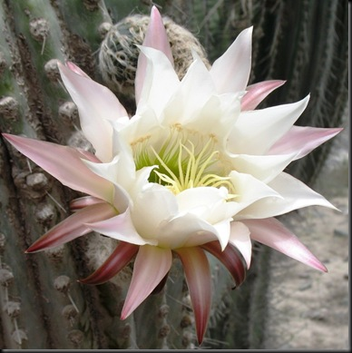 Cactus Flower Single