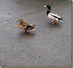 Ducks