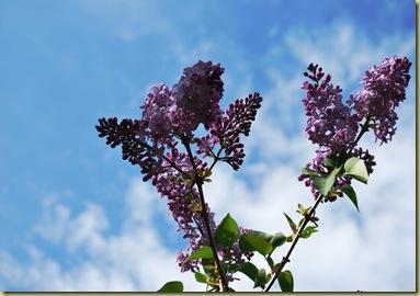 2011-05-14 Syrin Lilacs