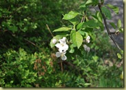 2011-05-14 Apple Blossom