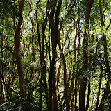 Arrayane forest (Myrtle)