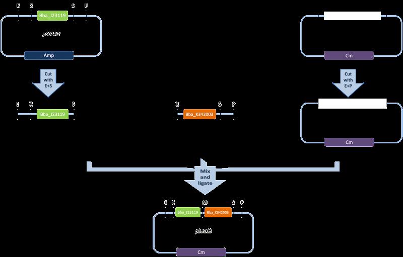 Constitutive promoter and ompR234 gene ligation