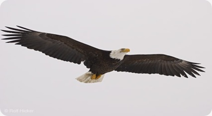 spread eagle females, Bald Eagle, Haliaeetus leucocephalus, Alaska, Homer, USA