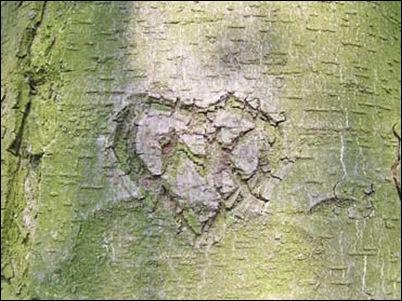hart gekerfd in een boom