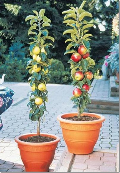 columnar-apple-trees