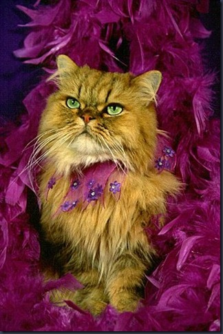 cat,cute,feather,boa,funny,glamour,shot,kitty-31ca16aa6460045a97469663a9a447eb_h