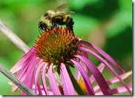Bee on coneflower, Hidden Lake