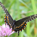 (Eastern) Black Swallowtail
