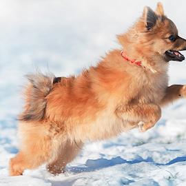 yahoo by Michael Sweeney - Animals - Dogs Puppies ( snow, pomerainan, michael sweeney, puppy, fast, nikon, dog, running )