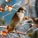 House Finch female