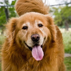 Who's a good boy? by Barry Blaisdell - Animals - Dogs Portraits ( canine, silly, best friends, pets, dog portrait, dog, my pet, my dog, golden retriever,  )