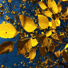 shadow play by Emina Dedić - Instagram & Mobile Other ( natural light, fall colors, colorful, yellow, leaves, clear, sky, blue sky, tree, nature, autumn, lovely, nature up close, tree tops, light, branches, autumn leaves, beautiful, play, autumn colours, fall sjy, shadows, colours, natural beauty, fall leaves, blue, autumn sky, fall, branch )