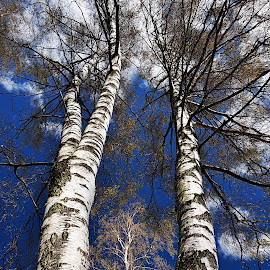 Trio by Eugenija Seinauskiene - Nature Up Close Trees & Bushes ( birch, sky, nature, tree,  )