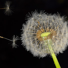 dandelion fluff by Charles KAVYS - Nature Up Close Gardens & Produce ( macro, dandelion, fluff, dandelion fluff, black,  )