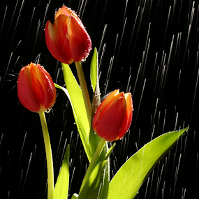 Tulips in rain by William Lee - Nature Up Close Flowers - 2011-2013 ( water, backlit, red, green, tulip, flowers, rain, , Spring, springtime, outdoors )