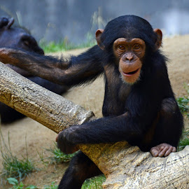 Hi, I'm Really Cute by Patti North - Animals Other Mammals ( chimpanzee, zoo, baby, cute, animal )
