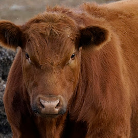 Big Red by Barbara Brock - Animals Other Mammals ( farm animals, red cow, cow eye contact, bovine, cow )