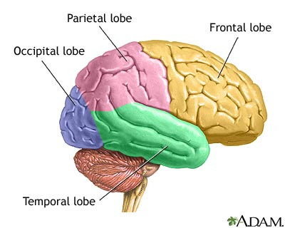 Justabrainmodel temporal lobe ccuart Images