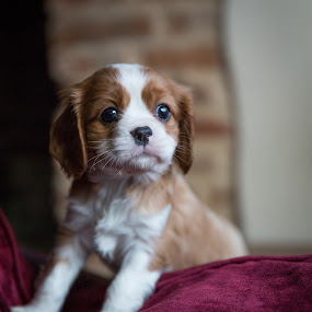 Bertie by Kevin Standage - Animals - Dogs Puppies ( canon, puppy, bertie, dog, portrait )