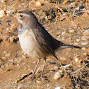 Bluethroat; Pechiazul