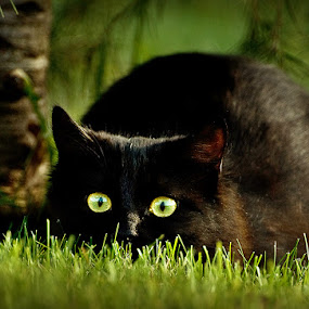 The black devil by MIhail Syarov - Animals - Cats Playing ( cat, grass, green, stalking pose, stalking, kitty, black cat, black, bulgaria, eyes )